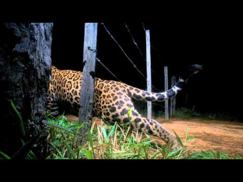 Photographing the Elusive Jaguar