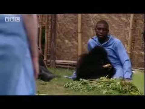 Sigourney Weaver visits a baby gorilla - BBC wildlife