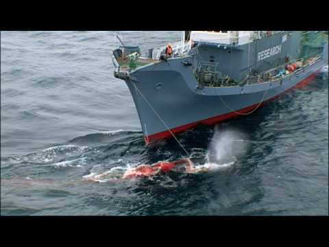 Warning: Graphic Content from Whale Wars Season 2*