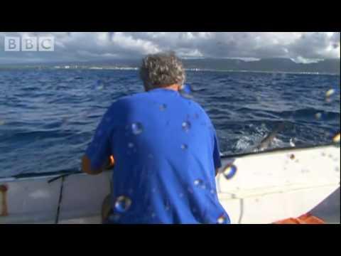 Tagging Tiger sharks in Hawaii - Hammerhead - BBC animals