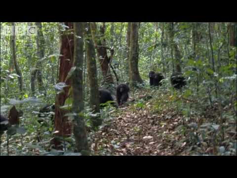 Violent chimpanzee attack - Planet Earth - BBC wildlife