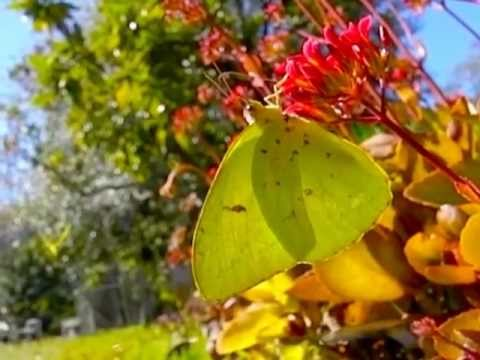 YELLOW BUTTERFLY butterfies slow motion Cloudless Sulphur (Phoebis sennae)