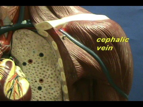 Torso Model - Cephalic and Basilic Veins