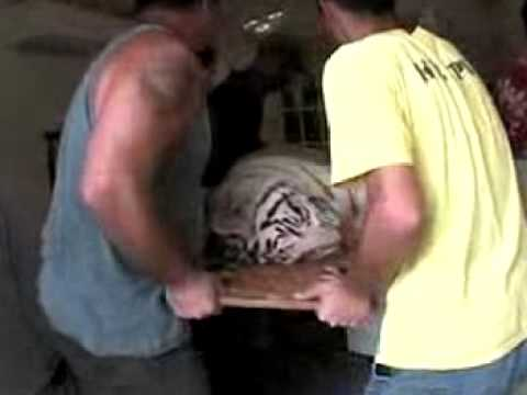 White Tiger Surgery - Big Cat TV
