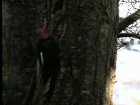 Territorial animal sounds in the forest - David Attenborough  - BBC wildlife