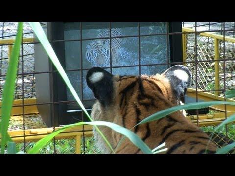 Tiger Watching TV