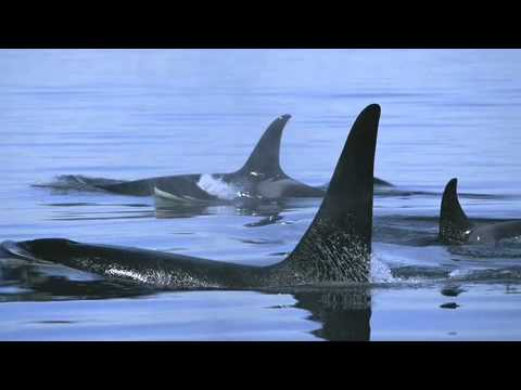 The Coolest Stuff on the Planet - The Killer Whales of British Columbia