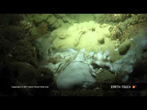 Night dive: Strange cuttlefish & a dead octopus
