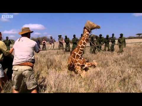 Tracking Giraffe - Mission Africa - BBC