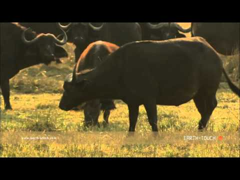 Wild dogs taunt buffalo herd