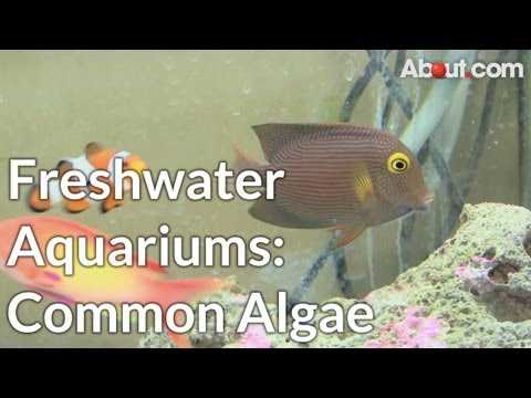 Types of Algae Common in Freshwater Aquariums