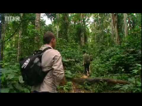 Will Young follows gorillas in the wild - Saving Planet Earth - BBC