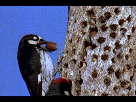 Woodpeckers vs. the World