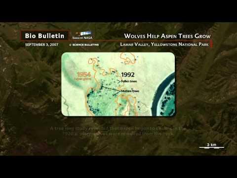 Science Bulletins: Wolves Help Aspen Trees Grow