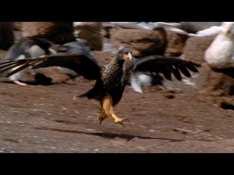 World's Deadliest - Caracaras Eat Baby Seabirds