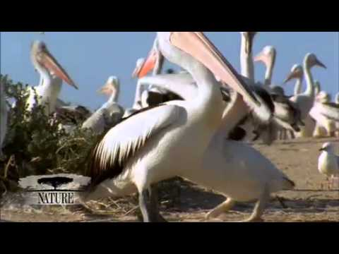 NATURE | Outback Pelicans | Pelican Tantrums | PBS