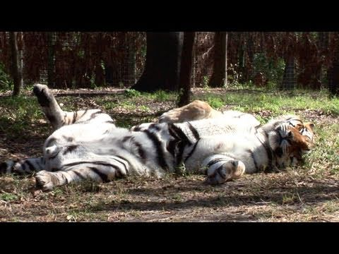 Sleepy Tigers...