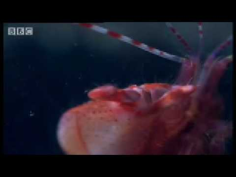 Pistol Shrimp sonic weapon - Weird Nature - BBC wildlife