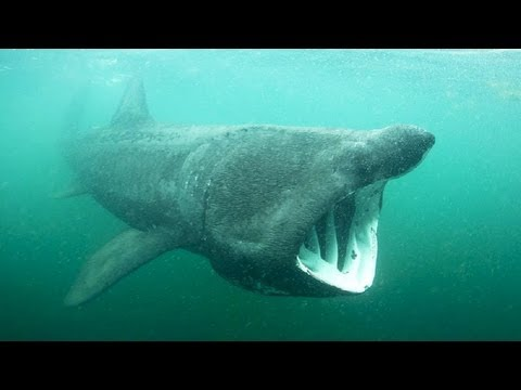 Simon Berrow: How do you save a shark you know nothing about?