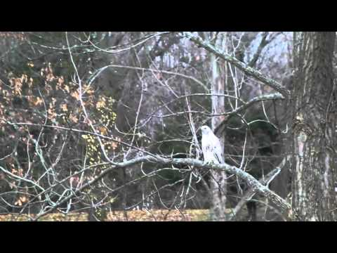 www.RustyJohnson.tv - Wild Albino Red tailed hawk