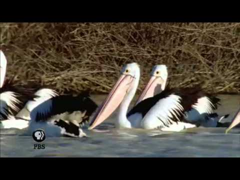 NATURE | Outback Pelicans | Synchronized Swimmers | PBS
