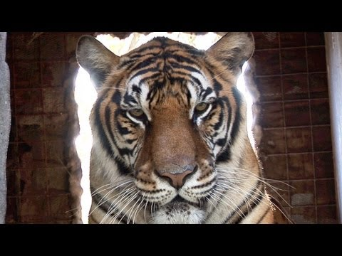 NEVER TRUST A TIGER - Working with big cats #1