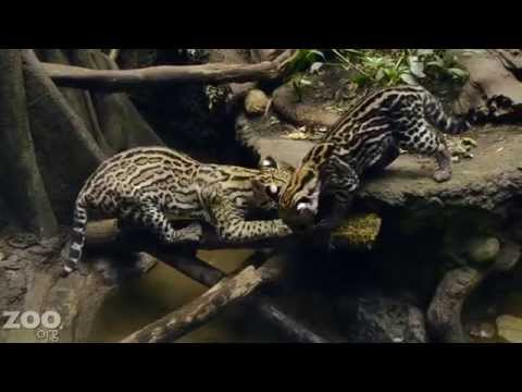 Ocelot Kitten Learns to Fish