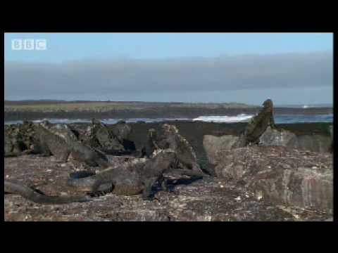 Secret life of Marine Iguanas - Wild South America - BBC wildlife