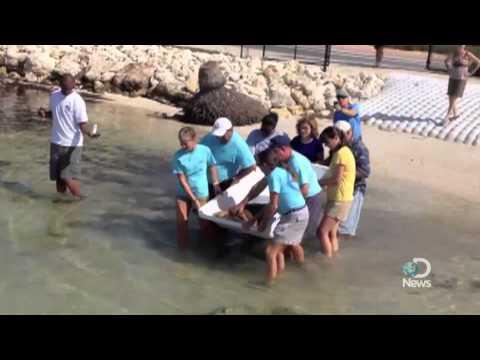 Rehabbed Loggerhead Turtle Released