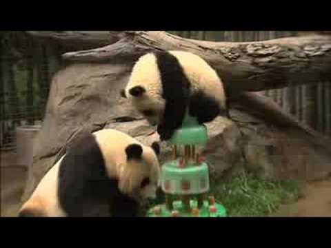 Two Big Birthdays for Giant Pandas at the San Diego Zoo