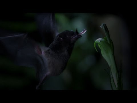 Untamed Americas - Tube-Lipped Nectar Bat