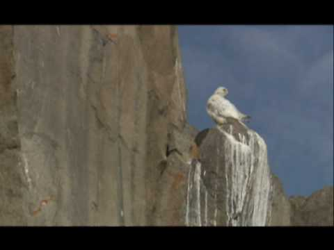 NATURE | White Falcon, White Wolf | Mother on the Hunt | PBS