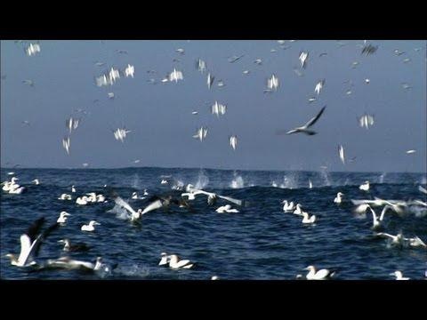 Nature's Dive Bombers - Sneak Peek