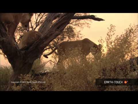 Weird nature: Why do lions climb trees?