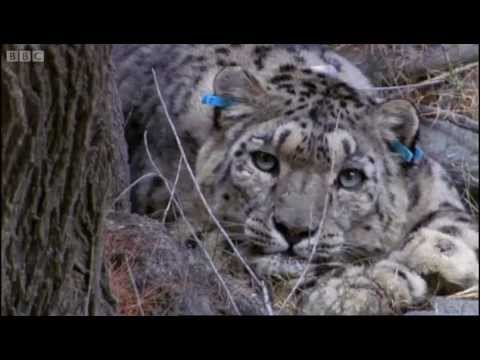 Tagging a predator on the hunt - Snow Leopard: Beyond the Myth - BBC