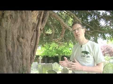 Yew - The Sacred Tree
