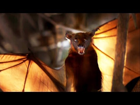 World's Weirdest - Flying Foxes