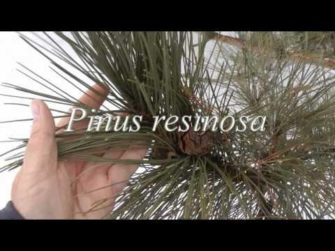 Pine Tree Identification