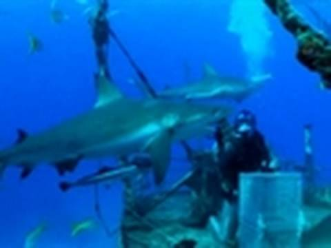 Spear Fishing Near Sharks