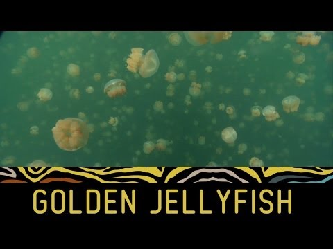 Weird creatures: Jellyfish swarm