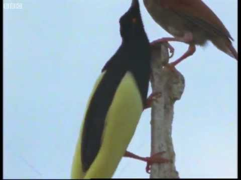 Twelve wired bird of paradise - Attenborough in Paradise - BBC