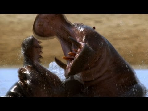 World's Deadliest - Hippo vs. Hippo