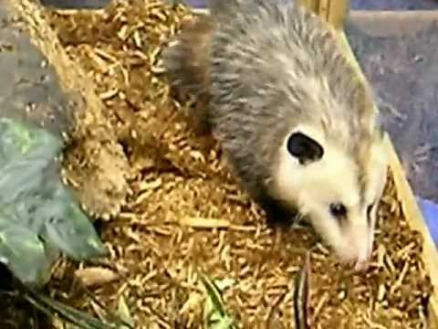 Opossum at National Science Teachers Association conference