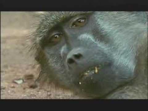 NATURE | Murder in the Troop | Baboon Grooming  | PBS