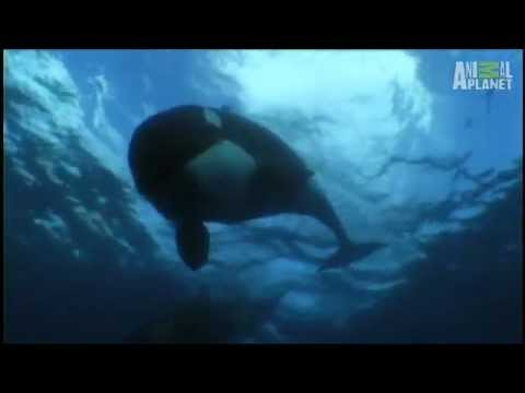 Researching Orcas | Wild Kingdom