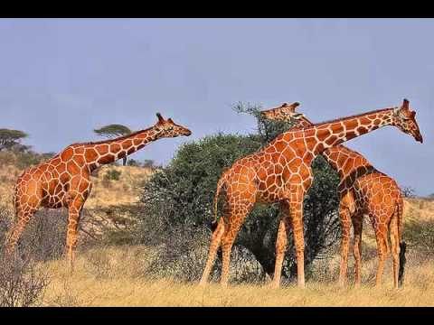 Name The Animal - Giraffe Slideshow