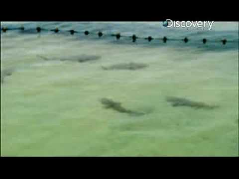 Shark Week- Lemon Shark Migration