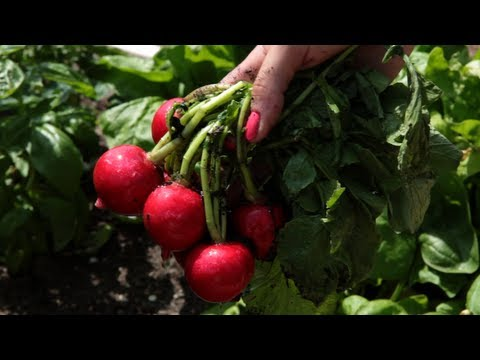 When to Plant Radishes