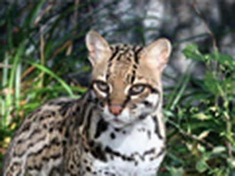 OCELOT Species Spotlight - Big Cat TV