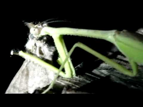 Praying Mantis eating a moth in the Peruvan Amazon